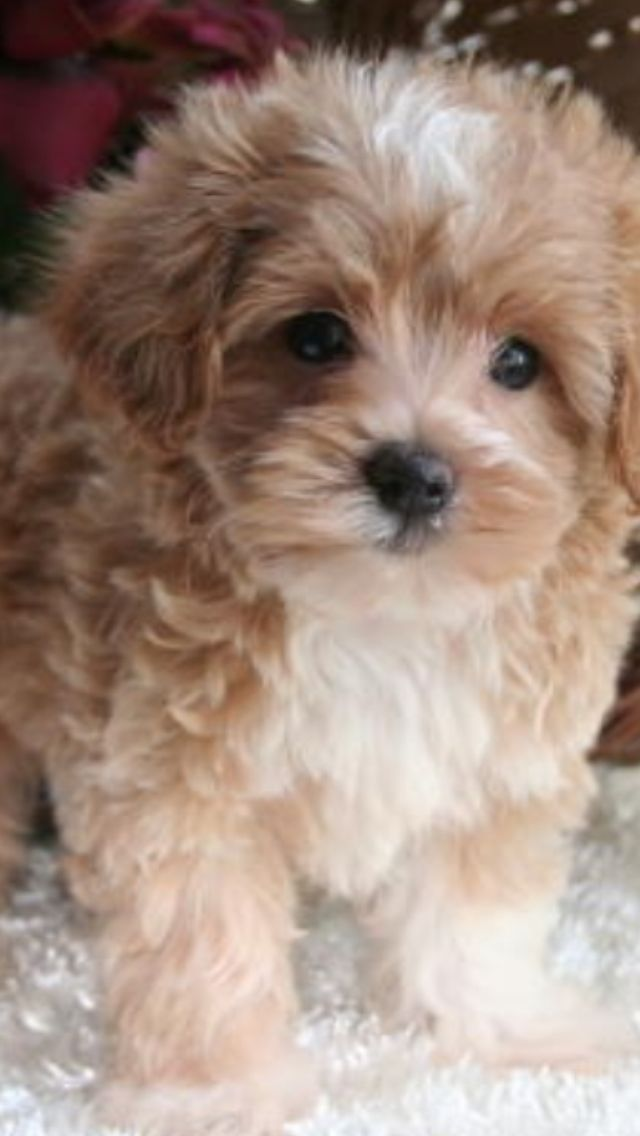 Pin On Maltese Poodle Puppies