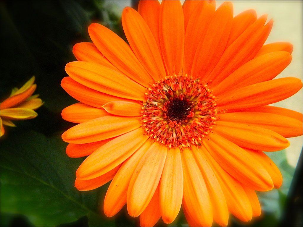 Pictures Of Orange Gerbera Daisy Orange Gerbera Daisy