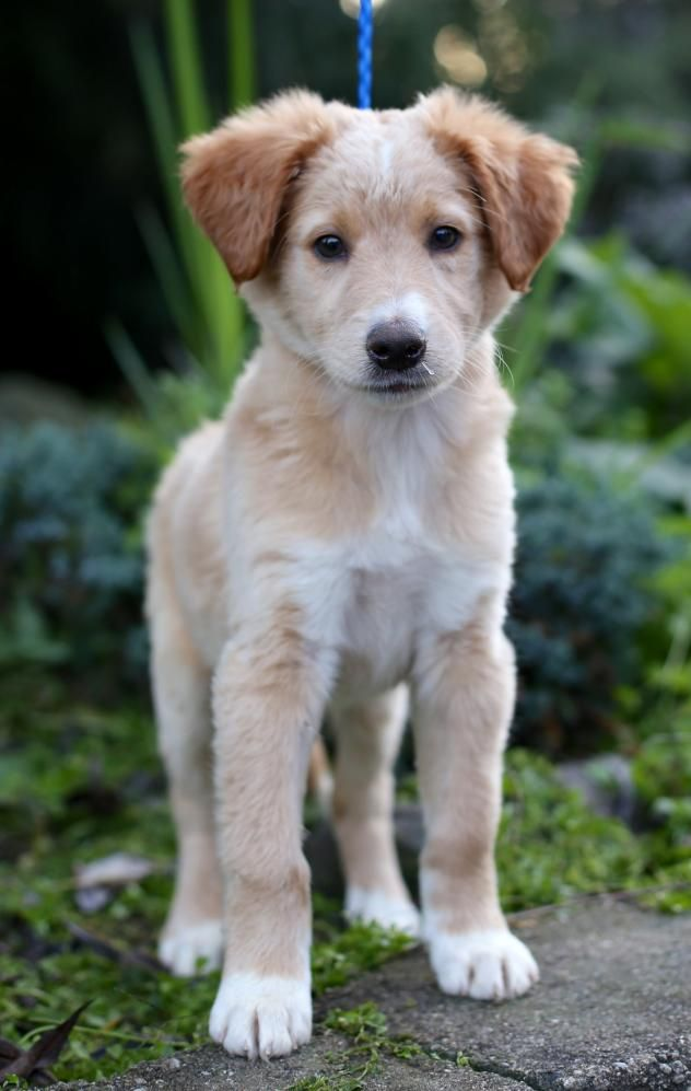Adopt Banette On Majestic Animals Golden Retriever Collie Mix