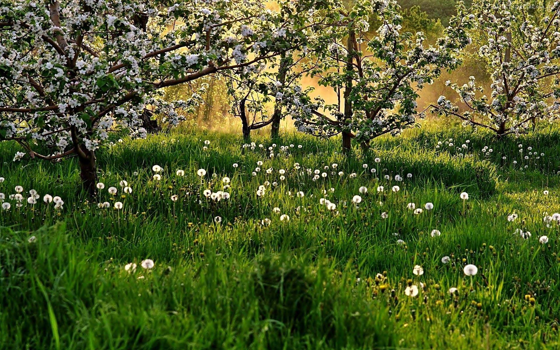 Wiosna Kwitnace Drzewa Laka Dmuchawce Spring Wallpaper Blooming Trees Dandelion Wallpaper