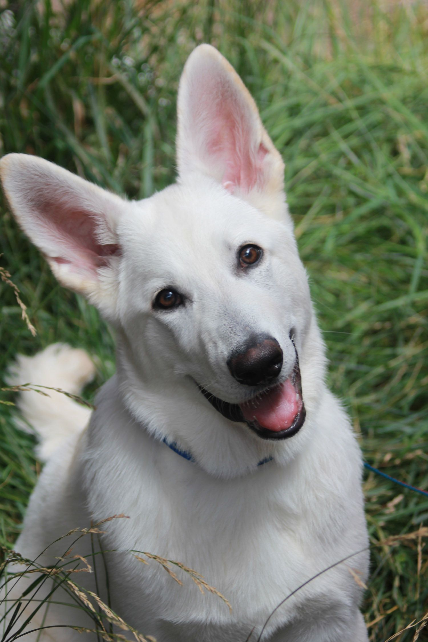 Don T You Want To Give Me A Cookie Cisco Kid 4 Months Old A White German Shepherd White German Shepherd Dogs German Shepherd Dogs