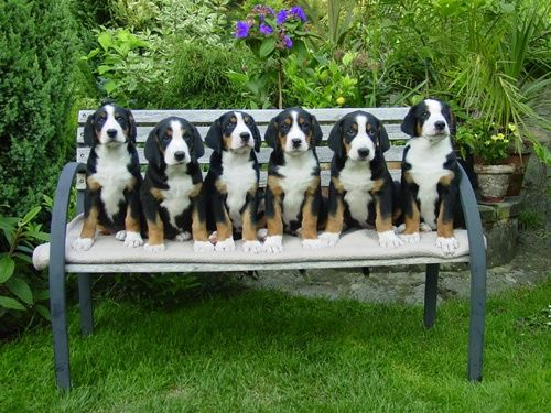swissy puppies!. | Kittens and puppies, Cute dog pictures ...