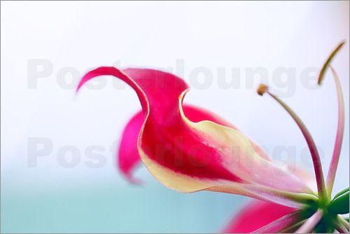 Renate Knapp Waldundwiesenfee - Ruhmeskrone (Gloriosa superba)