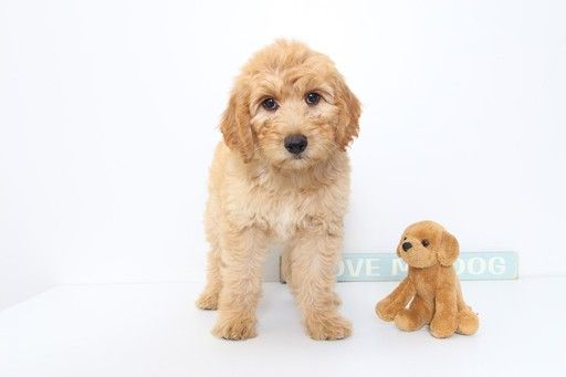 Goldendoodle Puppy For Sale In Naples Fl Adn 37128 On