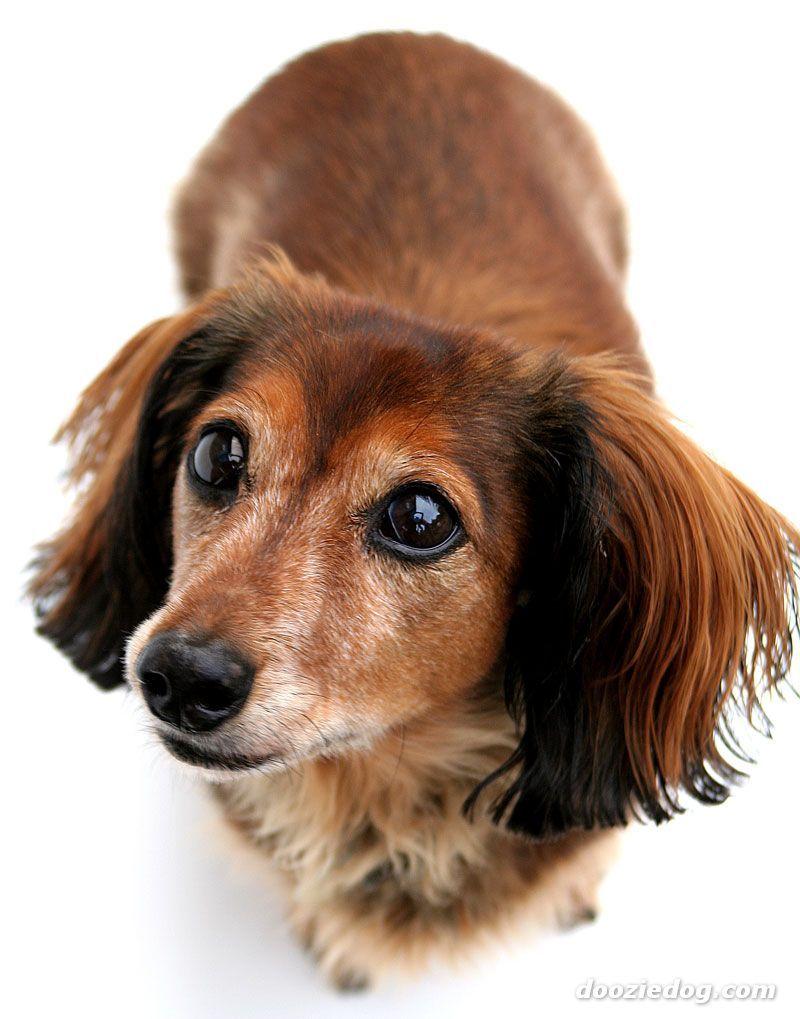 Dachshund Puppy Dog Eyes Dachshund Love Dachshund