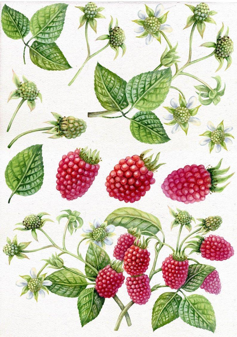 Lofty Design Ideas Blueberry Clipart Blueberries Clip - Blue Berry Clip Art  - Free Transparent PNG Clipart Images Download