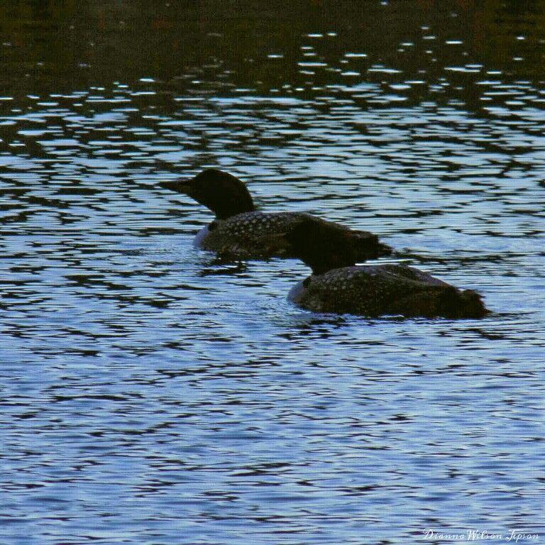 Loons at Dusk on Big Indian Lake, St. Albans, ME, USA