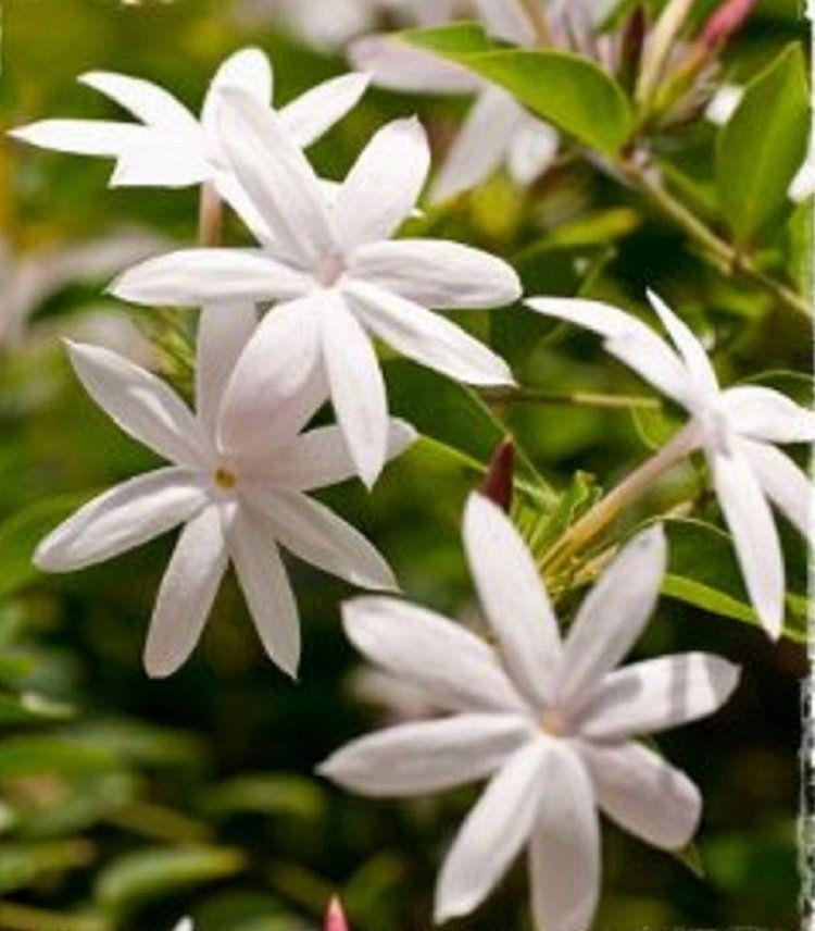 5 Forest Jasmine Seeds Rare Tree Tropical Fragrant Flower