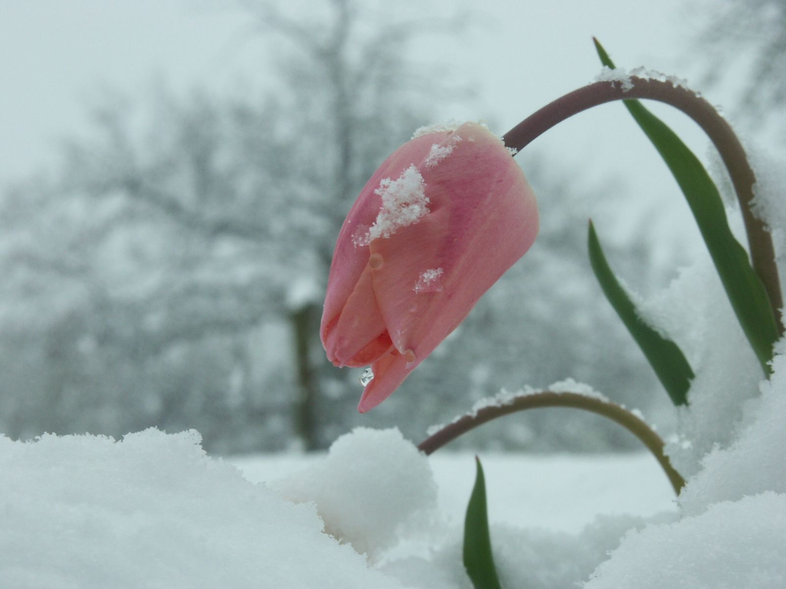 Pictures of Snow Flowers   Home Of HD Hot And Beautiful Wallpapers     Pictures of Snow Flowers   Home Of HD Hot And Beautiful Wallpapers