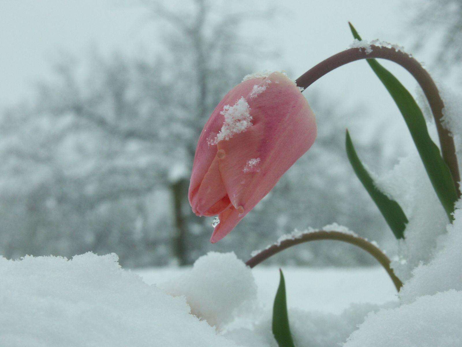 9 best snow flowers images on pinterest winter flowers flower