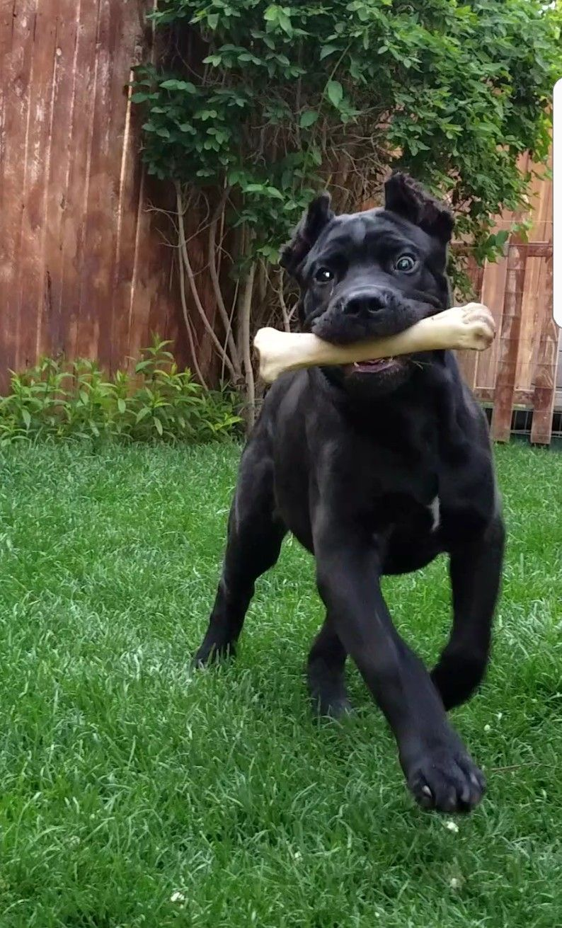 Cane Corso Leonidas At 11 Weeks Old Cane Corso Dog Rules Beautiful Dogs
