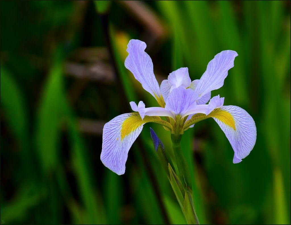 Iris Flower Delivery Meanings And Symbolism An Expert Guide Delivery Expert Flower Guide Iris Meani In 2020 Blue Iris Flowers Iris Flowers Purple Iris Flowers