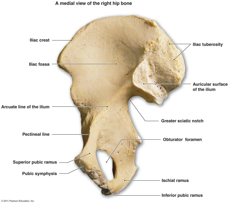 Hip Bone Medial View