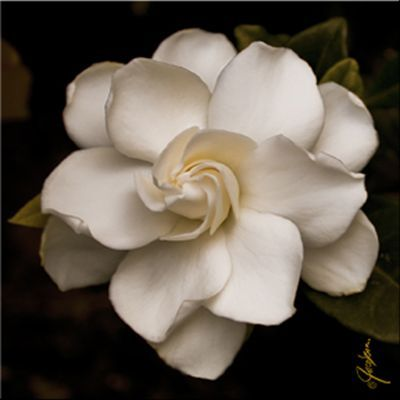 Gardenia This Would Make For A Nice Tattoo Also Gardenia Nice Tattoo Gardenia Tattoo Flowers Beautiful Flowers