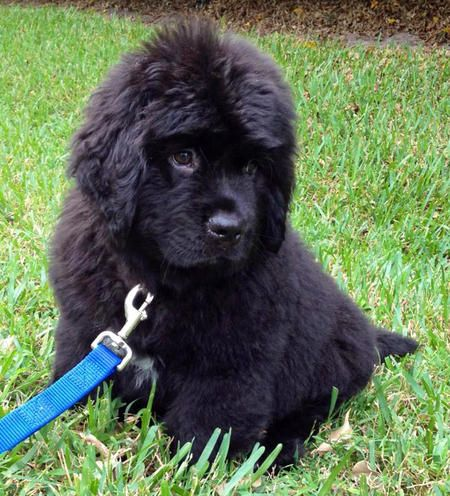 Brody The Newfoundland Newfoundland Puppies Newfoundland Dog Puppy Puppy Clothes