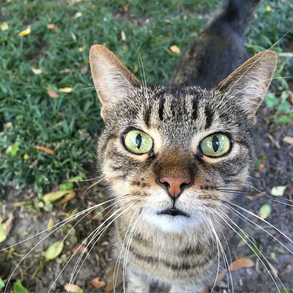 For Sale Siamese Cats #DoCatsDream Key: 880647798