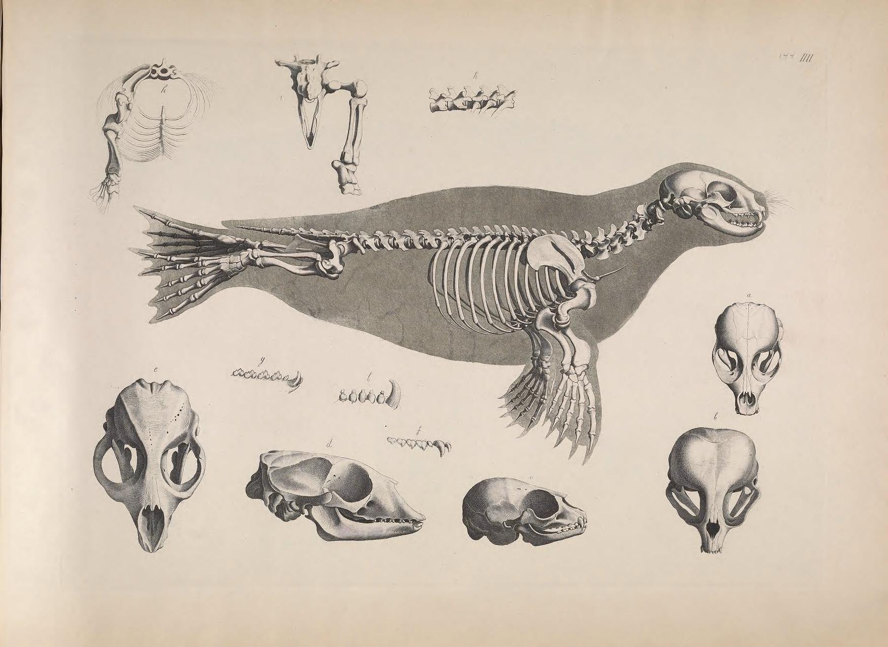 harbor seal skeleton carnivora phocidae phoca vitulina osteology rh pinterest com