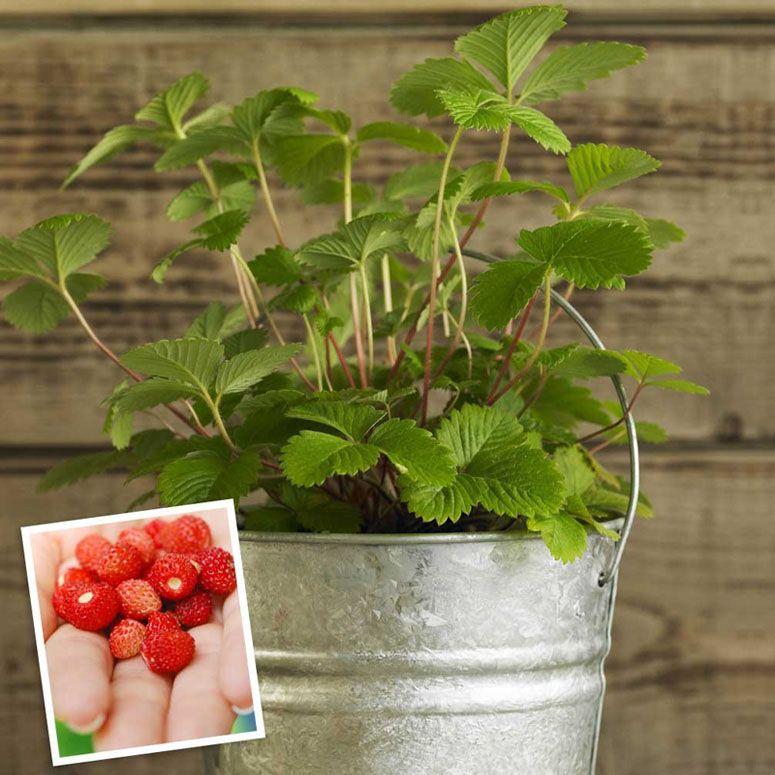 Wild Strawberry Plant Strawberry Plants Plants Growing Strawberries