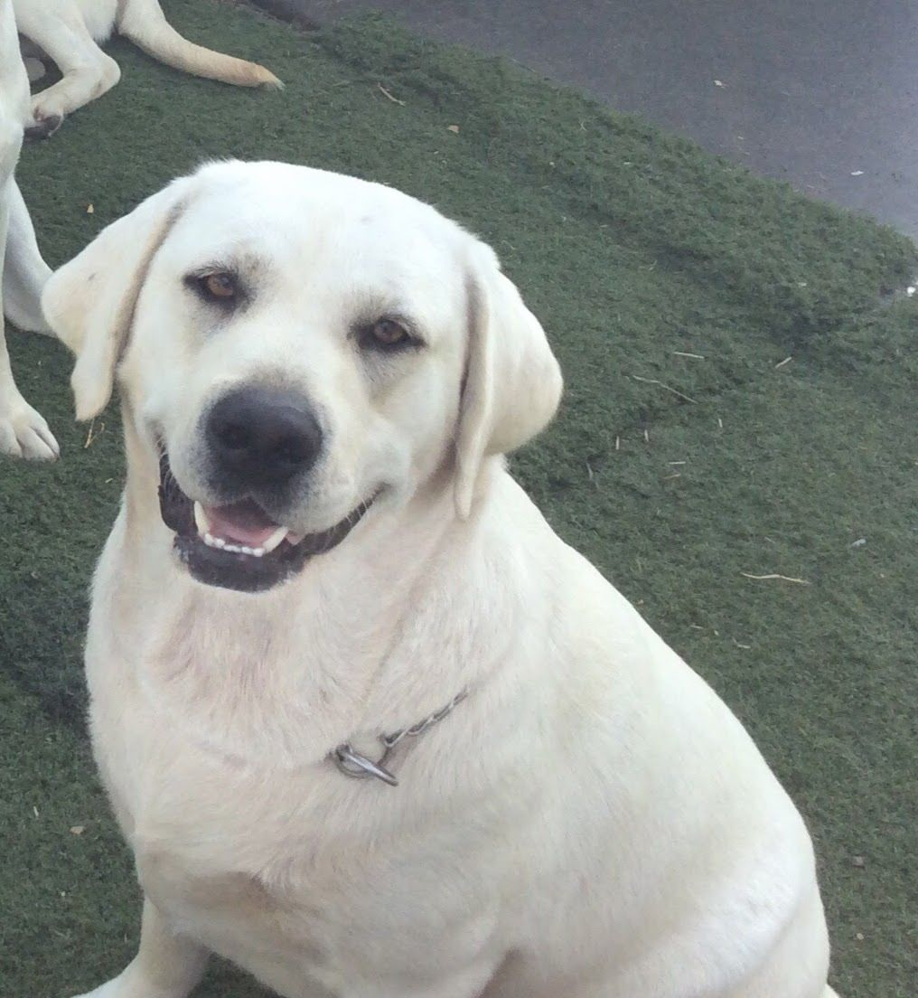 White Lab Puppies Available Now References