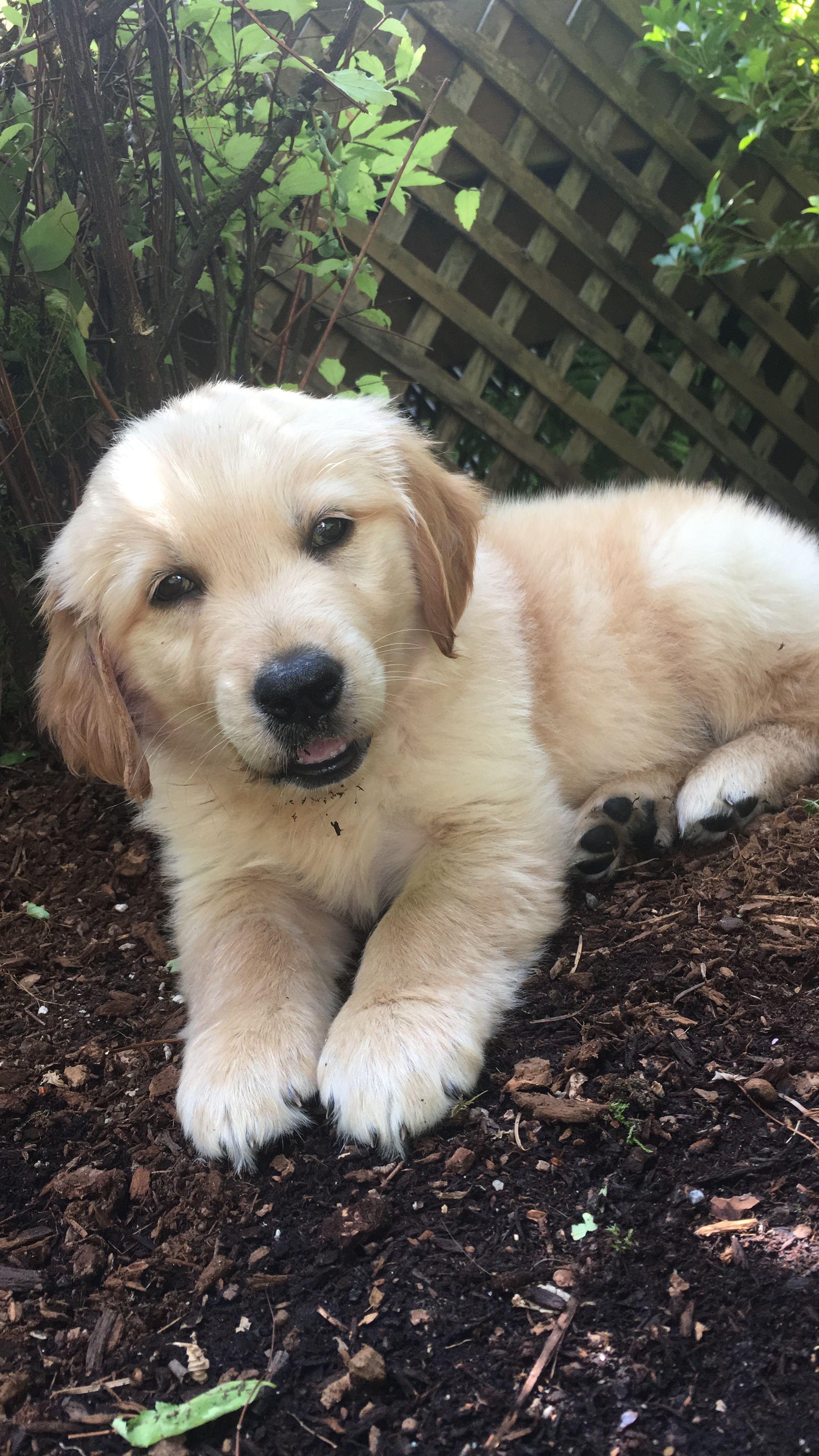 Golden Retriever Puppy Cute Dog Little Baby Retriever Puppy