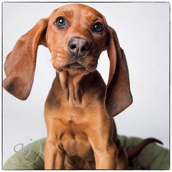 Redbone Coonhound Mix Got To Love Those Ears So Cute Redbone