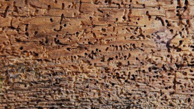 Holzwurm Biologisch Bekampfen Holzwurm Holzwurmer Bekampfen Und Holz