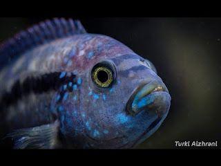 أسماك السيكلد الأفريقي 1 Http Ift Tt 2umudsr تربية اسماك الزينة دورة تربية سمك الزينة شرح انواع أسماك الزينة كورس تربية اسماك ال Fish Pet Sea Life Pets