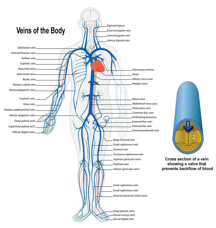 Arteries And Veins Of The Body Human Body Veins And Arteries