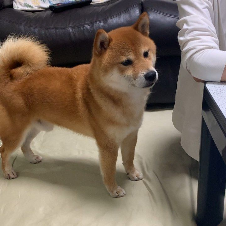 """柴犬あき on Instagram: """"遊んで遊んで!つんつん! #shiba_snap #あ ..."""