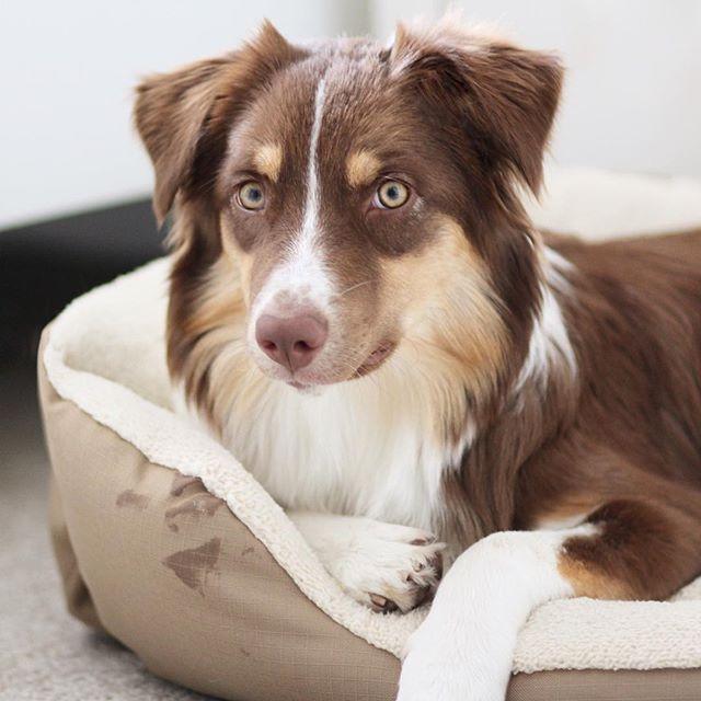 Pin von Ioraya auf Animals Aussie welpen, Hunde, Collie