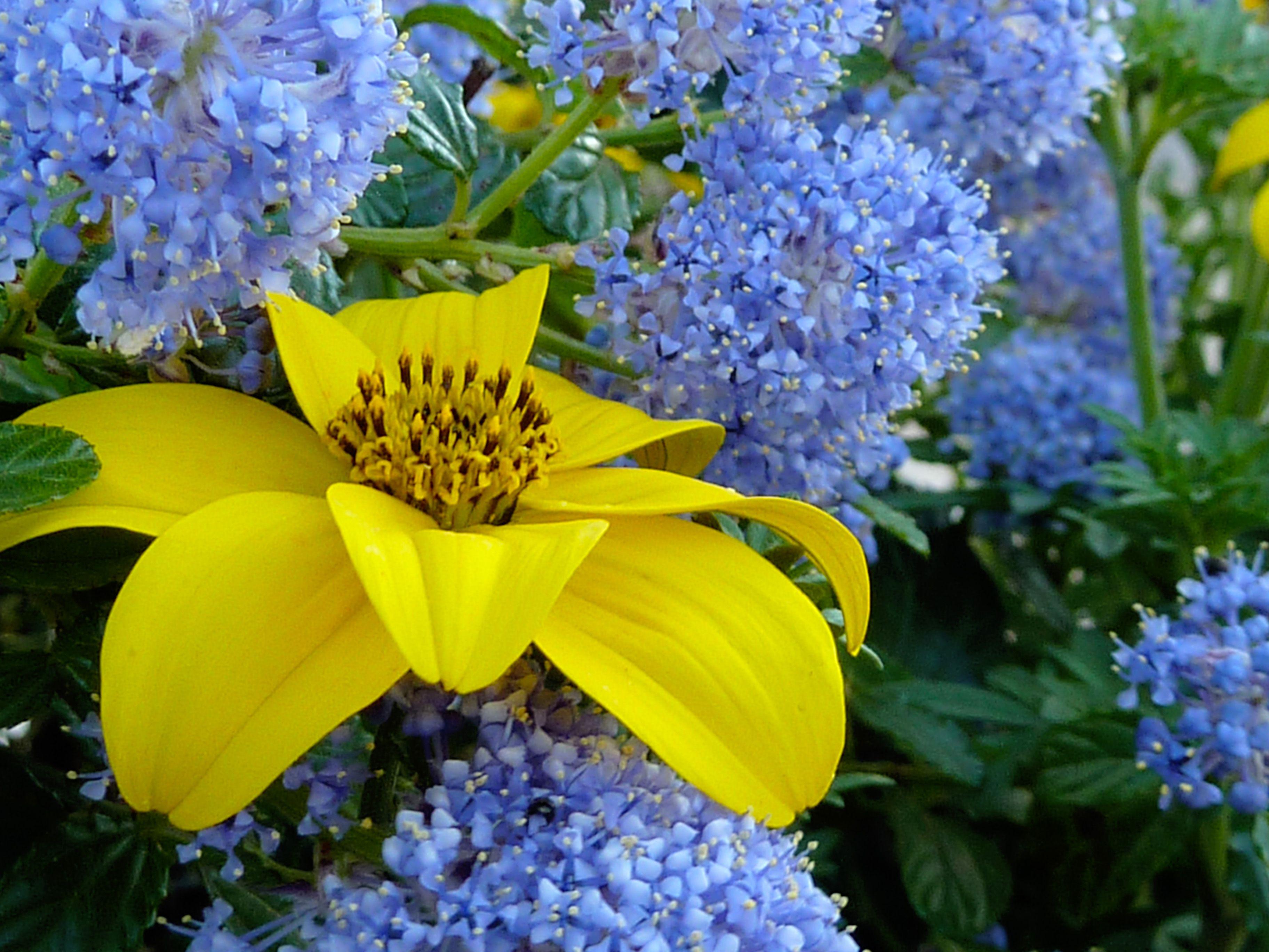 Bidens Ferulifolia Ceanothus Thyrsiflorus Yellow Orange Flower