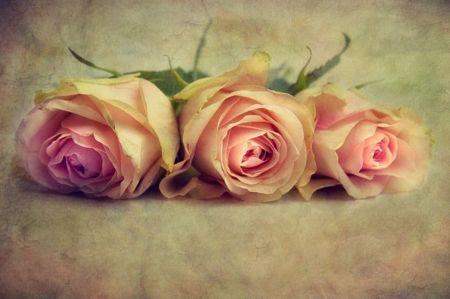 Three pink roses  Desktop Nexus Wallpapers