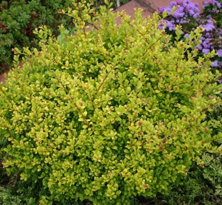 Ilex Crenata Golden Gem | Gardening | Pinterest | Gems, Gardens ...