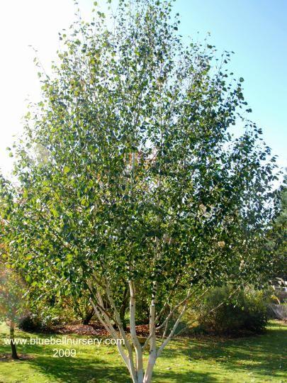 Bluebell Nursery Trees Shrubs Betula Utilis Var Jacquemontii Doorenbos