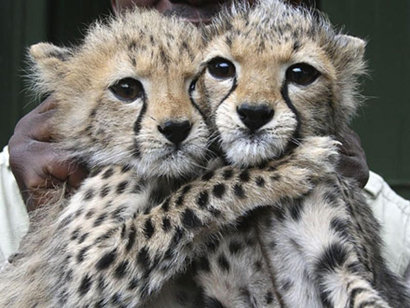 help sis Cheetah cubs, Baby cheetahs, Cheetah pictures