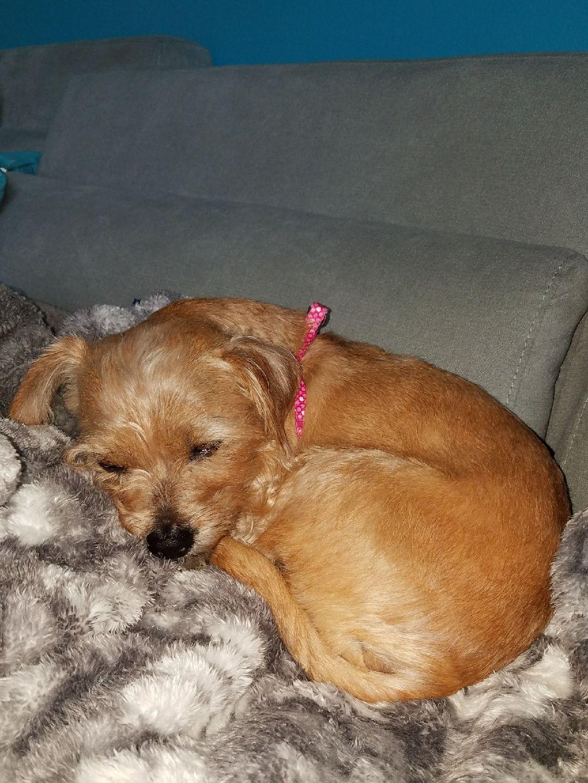 Cairn Terrier Dog For Adoption In Royal Palm Beach Fl Adn 804804