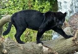 Panther Panteras Pinterest Animal Cat And Animal Pics