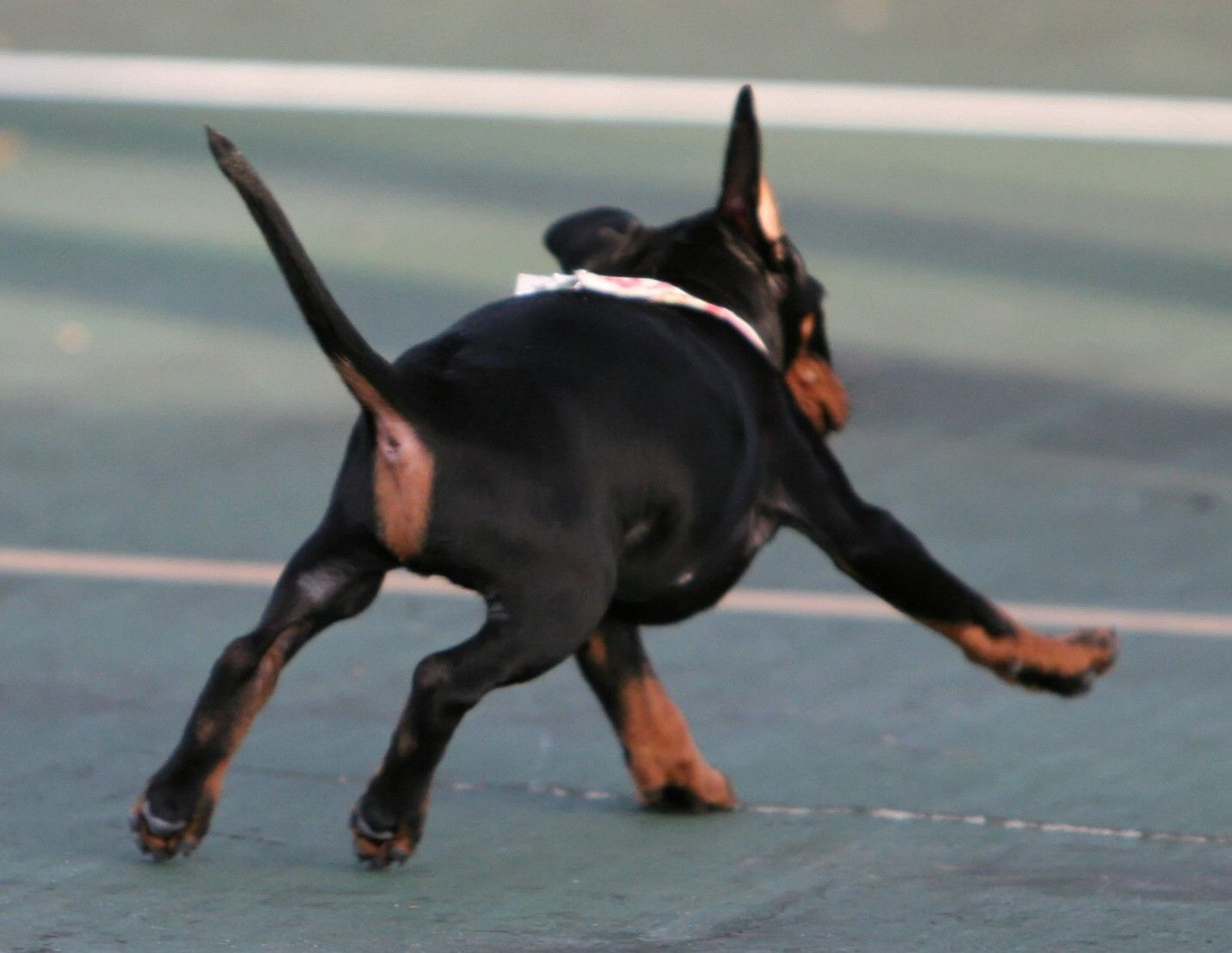 Baby Scorch - UCH JetCitys Dragon Fire Flys CD RE AX AXJ OF - Standard Manchester Terrier