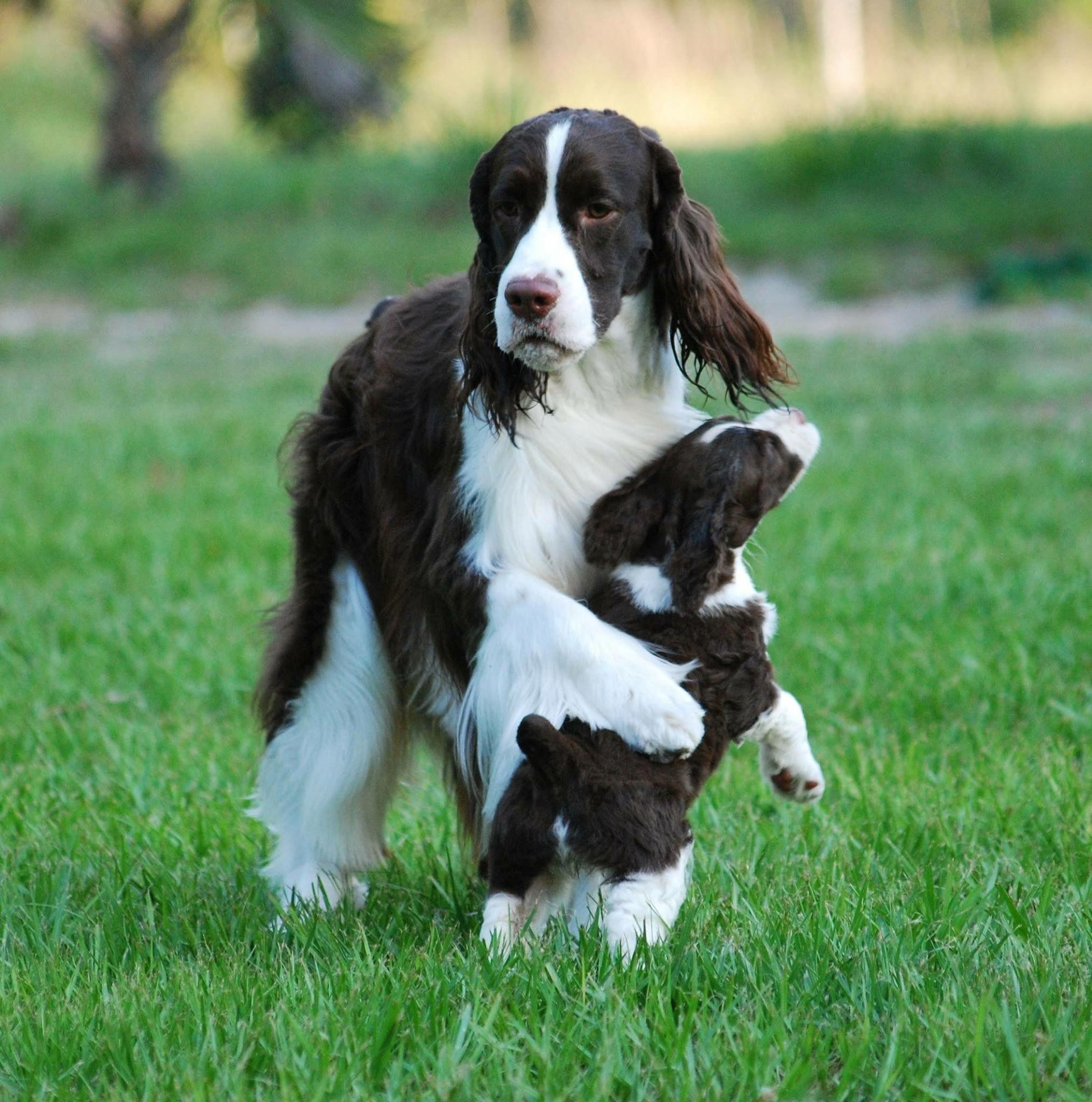 Pin By Christy Rawson On Springers In 2020 Springer Dog Springer Spaniel Welsh Springer Spaniel