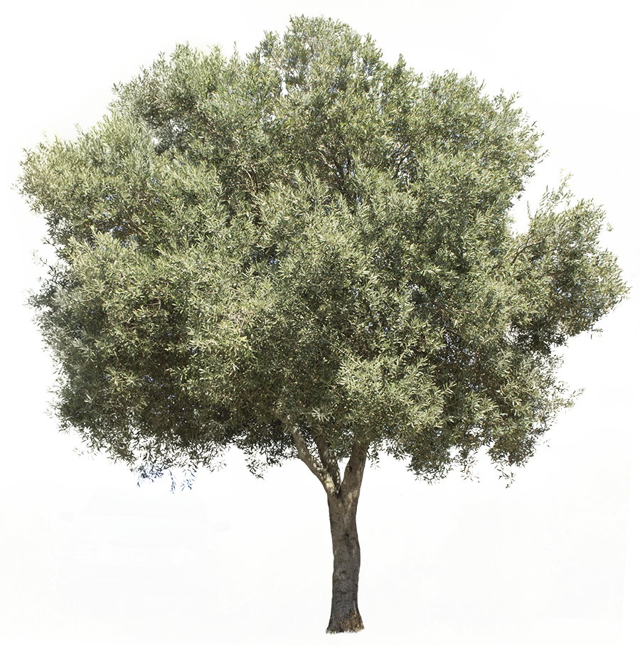 3709 X 3738 Pixels PNG Image With Transparent Background Olea Europaea Olive Tree
