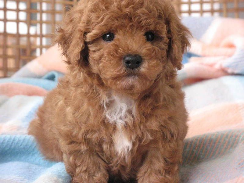 Shih Tzu Toy Poodle Puppies Toy Poodle Shih Tzu