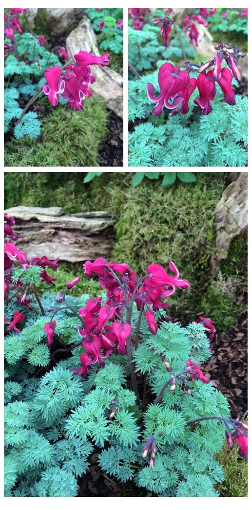 The Distinctive Flowers Of Dicentra Burning Hearts Fern Leaf Bleeding Heart Form A Late Spring Show Bleeding Heart Flower Garden Shade Garden