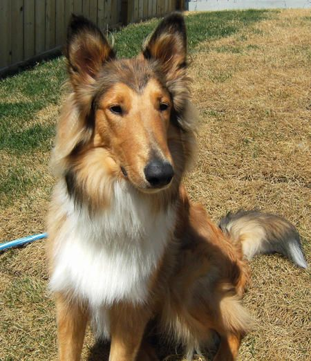 Alex The Collie So Proud And So Handsome With Images Collie