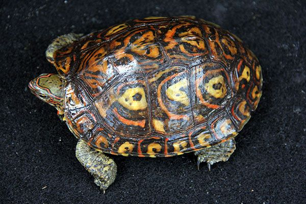 Yellow Spotted River Turtle Podocnemis Unifilis River Turtle