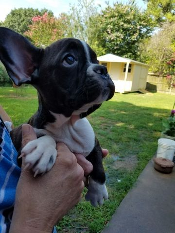 French Bulldog Puppy For Sale In League City Tx Adn 37698 On Puppyfinder Com Gender Male Age 9 Weeks Old Bulldog Puppies French Bulldog Bulldog Puppies For Sale