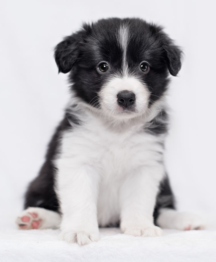 Border Collie Puppies Animal Facts Encyclopedia In 2020 Collie Puppies Border Collie Puppies Border Collie Puppy Training