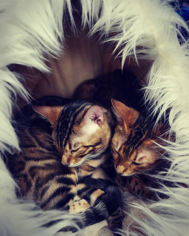 Schlafende Unterstutzung Bei Der Futterauswahl Bengal Katzen Nostradolcevita Kitten Nature Cattery Catlove Bengalcat Benga Cat Food Cats Animals