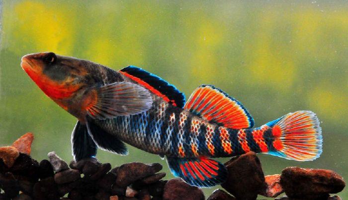 Rainbow darter, native to North America   Bottom Broomers   Fish