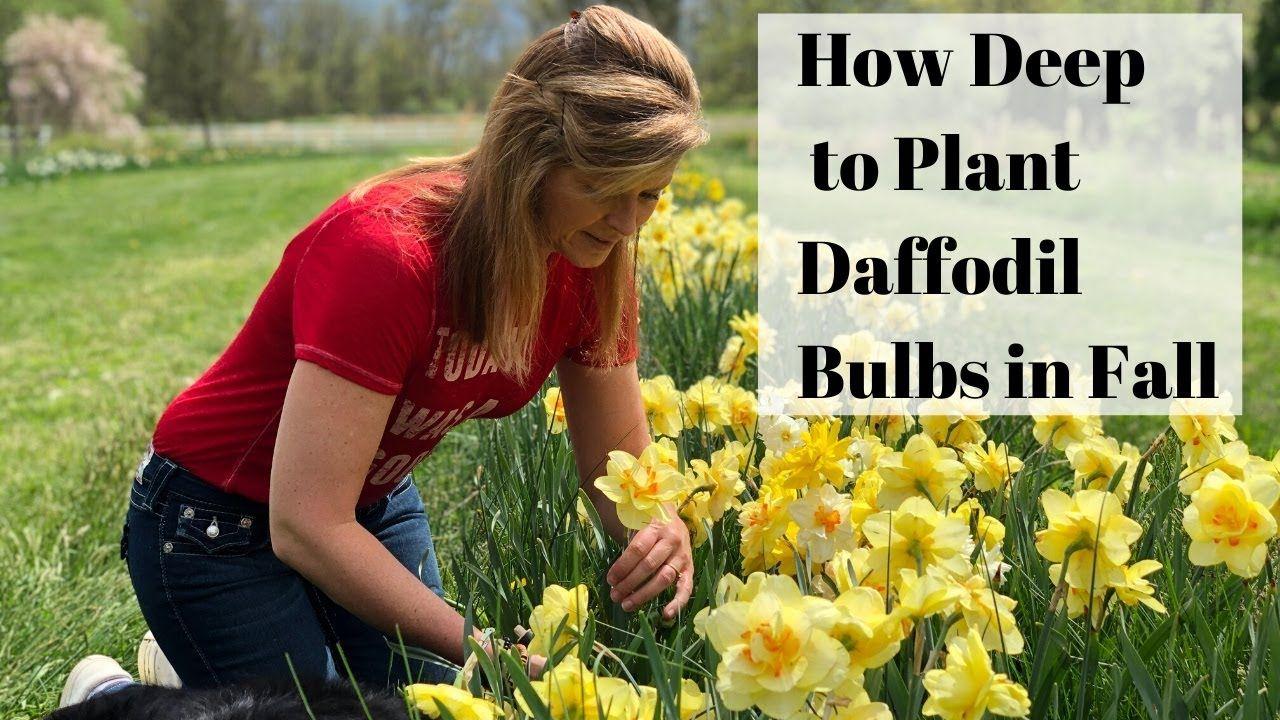 Planting Daffodils In Fall How Deep To Plant Daffodil Bulbs Kelly Lehman Youtube Planting Daffodil Bulbs Daffodil Bulbs Daffodils