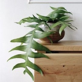 Epiphyllum Chrysocardium Zielony Parapet Indoor Plants Plants House Plants